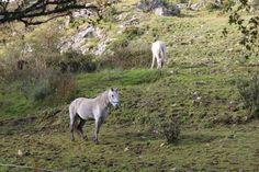 Connemara ponies. Connemara Pony, Ponies, Animals Beautiful, Irish, Shots, Ireland, Cutest Animals, Irish People, Pony