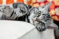 American Shorthair The adaptable and good-natured American Shorthair retains his hunting ability, but these days he is more likely to be a family companion.