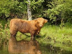 Water cow