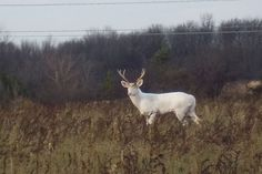Albino White Buck