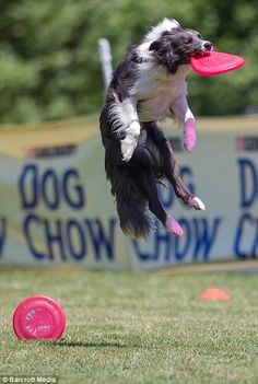 Border Collie in action...