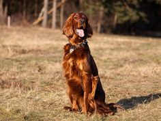 Irish Setter, the field bred Red Setter | DoggyZoo.com