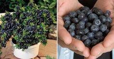 I benefici dei mirtilli per la salute sono molteplici: ecco come coltivare quantità illimitate di mirtilli nel tuo giardino.