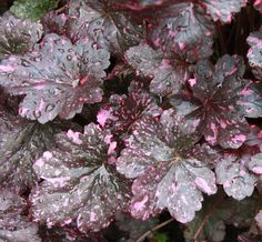 Midnight Rose Heuchera is a truly sun tolerant variety.  They are performing well in containers in a mostly sun situation and their shiny deep purple leaves with pink splashes are gorgeous!