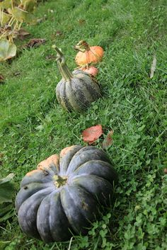 Flat pumpkins, like this one, are excellent for cooking purposes.  They have a lot of great flavor.
