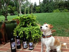 "Our former rescue Maxie is enjoying a pretty day (finally!) on the patio in Atlanta with some of her former GA JRT rescue mates … in ""spirits,"" at least. Monday is the last day of the special promotion that enters us into a raffle to win the complete collection of our line of wines with every purchase (single, sampler or collection) made online. Order online now >> http://www.benefitwines.com/jackrussell"