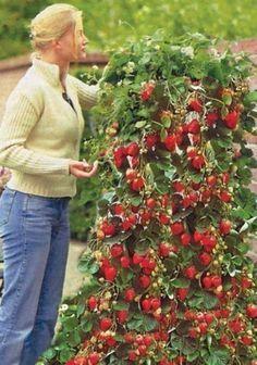 Organic gardening for healty food Veg Garden, Vegetable Garden Design, Fruit Garden, Edible Garden, Hydroponic Gardening, Organic Gardening, Container Gardening, Como Plantar Pitaya, Strawberry Garden
