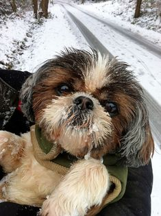 Beautiful Shih Tzu in the snow.