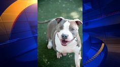 Pit Bull battling terminal cancer, loses owner to cancer - KTVU -
