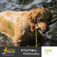 Happy #wetnosewednesday from Sophie 2035! Her advice is to jump in with all four paws. #goldenretriever #rescuedog #adoptdontshop #secondchances Rescue Dogs, Wednesday, Golden Retrievers, Animals, Happy, Beautiful, Advice, Animales, Animaux