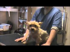 Grooming an Aggressive Yorkie (Yorkshire Terrier): Part 1 - YouTube start at 6:20 for position on how to hold yorkie when trimming nails