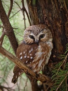 Adult northern saw-whet owl. The owl was photographed in a local wildlife area. The owl has found a well protected area to roost during the day which is typical of these very tiny owls. Beautiful Owl, Animals Beautiful, Saw Whet Owl, Owl Pictures, Owl Photos, Great Pictures, Owl Bird, Tier Fotos, Mundo Animal