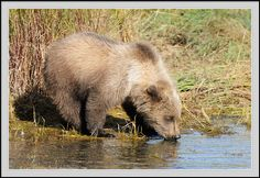 grizzly bear cub - Google Search Grizzly Bear Cub, Bear Cubs, Bears, Brown Bear, Google Search, Animals, Cubs, Animales, Animaux