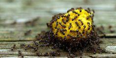 Mieren: ineens loopt er een hele mars door je keuken, op zoek naar overgebleven etensrestjes. Hoewel de beestjes niet schadelijk zijn, heb je ze toch liever niet binnen. Met dit trucje maken ze rechtsomkeert. Zo houd je ze buiten de deur Dé manier om de mierenmars een halt toe te roepen, is het onderbreken van …