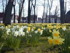 Narcissus in the garden of the beguine of Bruges, Belgium
