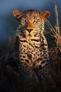 funnywildlife: Leopard of the Night by Xenedis on Flickr. Makepisi male, Timbavati private nature reserve, Kruger