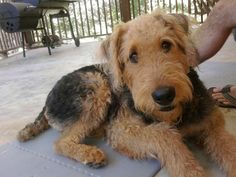 my Chewie-Airedales
