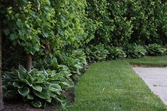Bradford pear trees underplanted with Hostas Lawn And Landscape, Landscape Design, Garden Design, Bradford Pear Tree, Sustainable Farming, Landscaping Plants, Trees And Shrubs, Garden Gates, Outdoor Areas