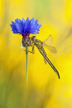 The dragonfly and the daisy  | tattoos | Amazing flowers, Tatting