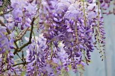 Learn how to plant, grow, and care for wisteria with this growing guide from The Old Farmer's Almanac.