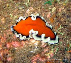 Unidentified polyclad flatworm from Bali, Indonesia