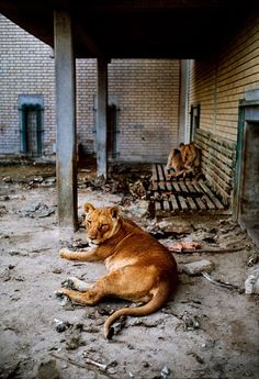 Kuwait zoo during the gulf war. All Creatures Great and Small | Steve McCurry