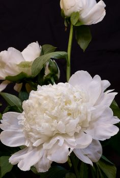 white peonies ...... Such an easy flower to grow and they last all summer.