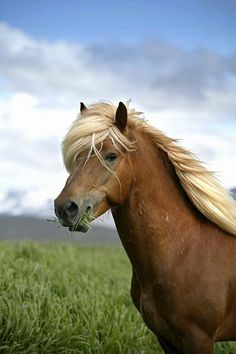 I attempted to ride one of these gorgeous Icelandic horses <3