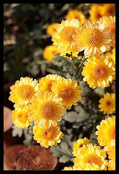 Beautiful flower, Chrysanthemum