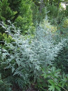 ghost branble rubus thibetanus silver fern