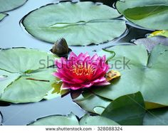 Single pink waterlily - stock photo