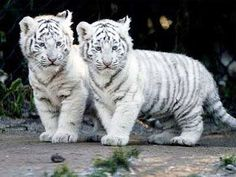 white tiger cubs - my fav big cats! Baby White Tiger, White Tiger Cubs, White Lions, Rare Animals, Cute Baby Animals, Funny Animals, Wild Animals, Animal Babies, Unusual Animals