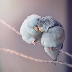 Dreamy Photos of Parrotlet Birds by Rupa Sutton. – Maxi Tendance Dreamy Photos of Parrotlet Birds by Rupa Sutton. Dreamy Photos of Parrotlet Birds by Rupa Sutton. Cute Birds, Pretty Birds, Beautiful Birds, Animals Beautiful, Love Birds Pet, Beautiful Pictures, Two Birds, Animals And Pets, Baby Animals