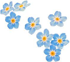 transparent-flowers:  Water Forget-Me-Not. Myosotis scorpioides. (x).