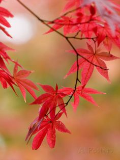 Red Maple Leaves at Okochi-Sanso Villa Teahouse and Gardens Fotografisk trykk av Brent Winebrenner hos AllPosters.no