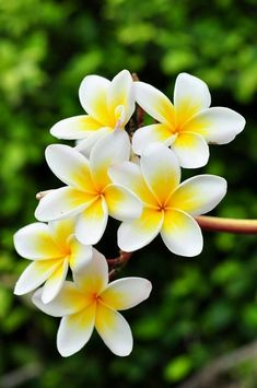 Hawaiian flower: Pua Melia (Plumeria) or frangipani. I want this as a tattoo on … Hawaiian flower: Pua Melia (Plumeria) or frangipani. I want this as a tattoo on the back of neck with my wedding date underneath in a pretty script! Exotic Flowers, Tropical Flowers, Amazing Flowers, My Flower, Pretty Flowers, Unique Flowers, White Flowers, Flower Farm, Beautiful Pictures Of Flowers