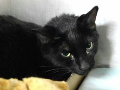 NICE aka BLACKIE - A1097400 - - Manhattan  Please Share:*** TO BE DESTROYED 11/27/16 *** NEW PHOTO! NEEDS VET EVAL – POSS URINARY TRACT ISSUES ACCORDING TO OWNER -  Click for info & Current Status: http://nyccats.urgentpodr.org/nice-aka-blackie-a1097400/