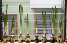 Paperwhites are a fragrant flower associated with Christmas. Love this idea. Maybe a new family tradition. Baby food jars for Paperwhites! Baby Jars, Baby Food Jars, Glass Jars, Mason Jars, Baby Food Jar Crafts, Growing Up Girl, Baby Food Containers, Pots, Recyle