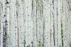 Red Birch Tree   Oscar Gutierrez › Portfolio › White Birch Tree Forest