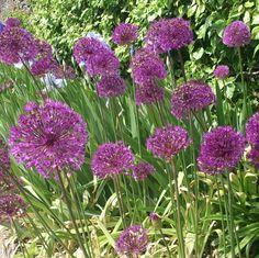Beautiful purple alliums. RaeBattesonArt
