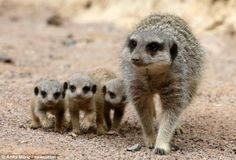 Three of a kind: When it comes to comparing Meerkats the new gang at West Midland Safari Park have come up trumps