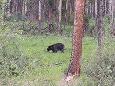 Medvěd černý - Black bear - NP Banff - Canada - 2014