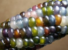 """Bon Appétit  This ear of corn might look like costume jewelry, but it's 100% natural, a rare heirloom breed called """"Glass Gems."""" If you planted the kernels, every different color would grow into an entirely different corn plant, with a different mix of genes from the original! [Seeds Trust via Discovery]"""