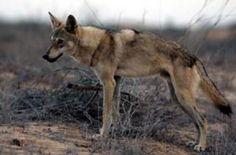 bilder av ulv - Google-søk