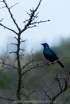 Glossy starling at Hluhluwe-Imfolozi Game Reserve in Zululand