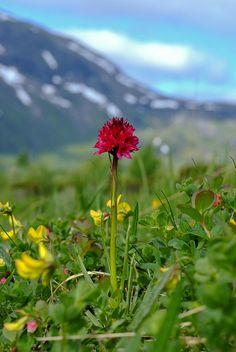 Das Schwarze Kohlröschen (Nigritella nigra), auch Männertreu oder Blutströpfchen-Kohlröschen genannt, ist eine Orchideenart aus der Gattung der Kohlröschen (Nigritella). Die Blüten duften intensiv nach vanilla.