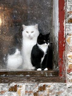 cats in the window..the tuxedo cat is getting wet