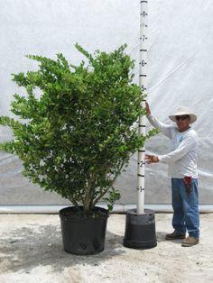Wax Leaf Ligustrum Tree Form Sea Island Plant Palette Pinterest Wax Hedges And Trees