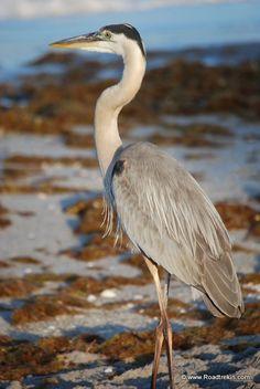 Coastal Florida Birdwatching http://baretnewswire.org/coastal-florida-birdwatching/