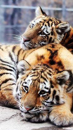tigers, couple, tenderness, predators